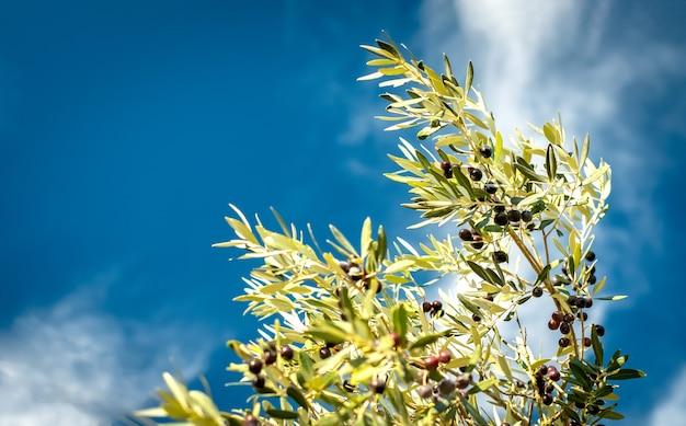 Olijftak tegen de blauwe hemel op een zonnige dag. selectieve aandacht, kopie ruimte Premium Foto