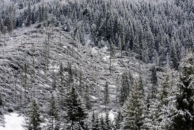 Omgevallen bomen in naaldbos na sterke orkaanwind in roemenië. Premium Foto