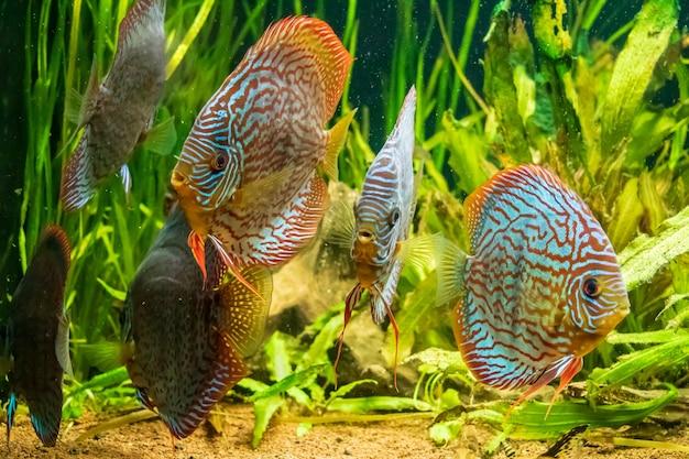 Onderwater close-up shot van prachtige the brown discus vis Gratis Foto