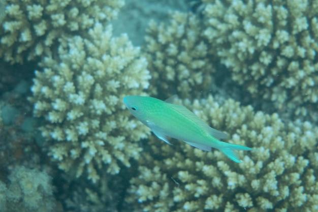 Onderwaterwereld met koralen en tropische vissen in zee Premium Foto