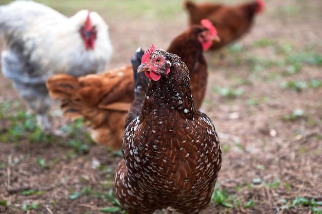 Ondiepe focus shot van een kip in de ranch van californië Gratis Foto