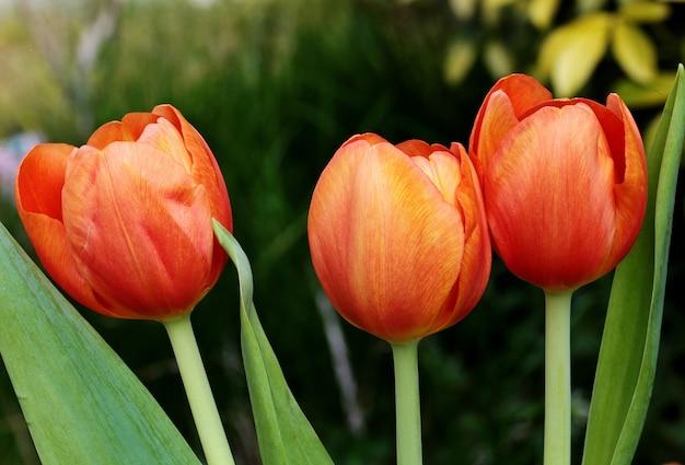 Ondiepe focus shot van rode tulp bloemen op een onscherpe afstand Gratis Foto