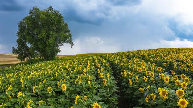 Onweerswolken boven een bloeiende zonnebloem veld. Premium Foto
