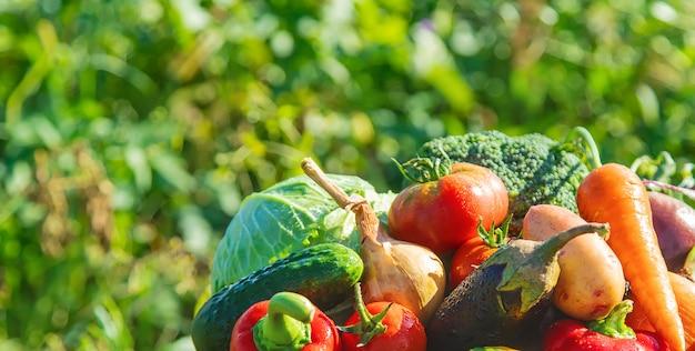 Oogst in de tuin. organische groenten. selectieve aandacht. Premium Foto
