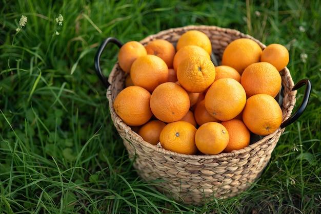 Oogst van verse sinaasappelen in mand op groen gras. Premium Foto