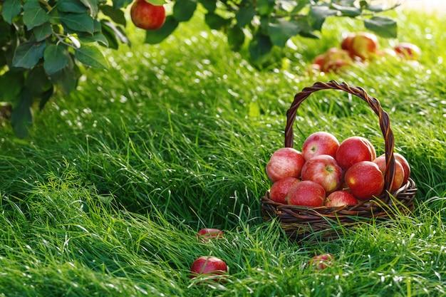 Oogsten. appels in een mand en op het gras onder de takken van een appelboom. Premium Foto
