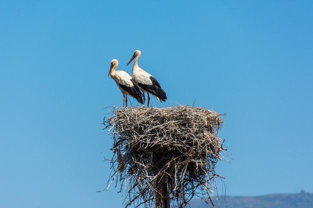 Ooievaars in een groot nest dat van takken op een elektriciteitspool wordt gemaakt in algarve, portugal Premium Foto