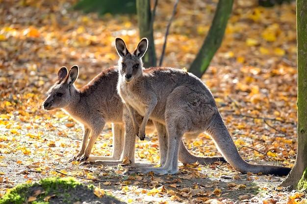 Oostelijke grijze kangoeroe in een opheldering Premium Foto