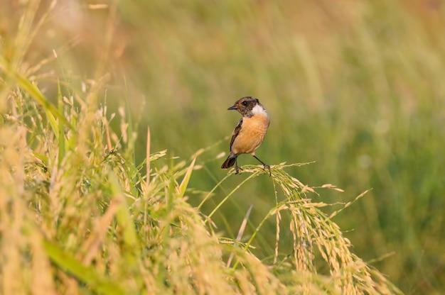 Oostelijke stonechat saxicola stejnegeri mooie mannelijke vogels van thailand zitstokken op het rijstveld Premium Foto
