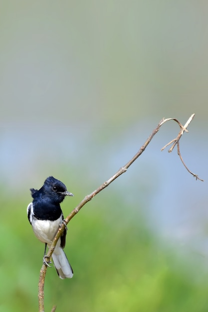 Oosterse ekster robin met de natuur Premium Foto