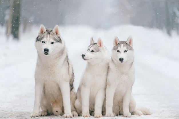 Openlucht de winterportret van siberische schor hondfamilie Premium Foto