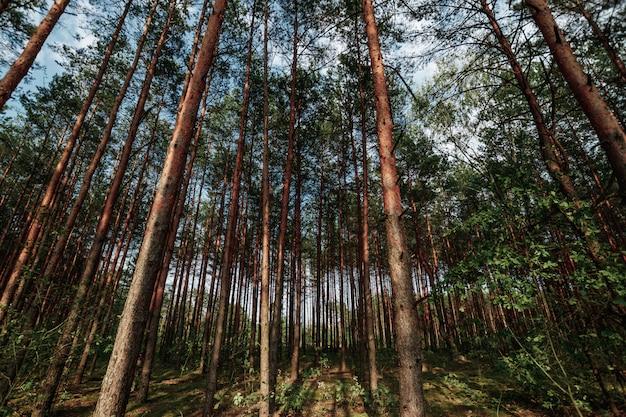 Opzoeken in het voorjaar pine forest tree to canopy Premium Foto