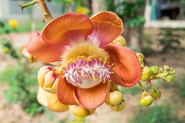 Orange sal-bloemen bloeien. Premium Foto