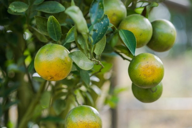 Oranje aanplantingstuin, rijpe sinaasappel die op een boom hangt Premium Foto