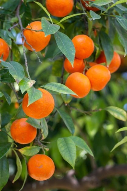 Oranje boomvruchten Premium Foto