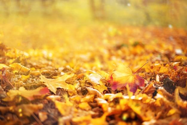 Oranje, gele esdoornbladeren achtergrond. gouden herfst concept. Premium Foto