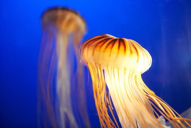 Oranje kwal (chrysaora fuscescens) Premium Foto
