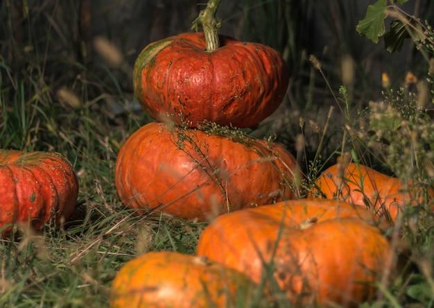 Oranje pompoenen liggen op het gras Premium Foto