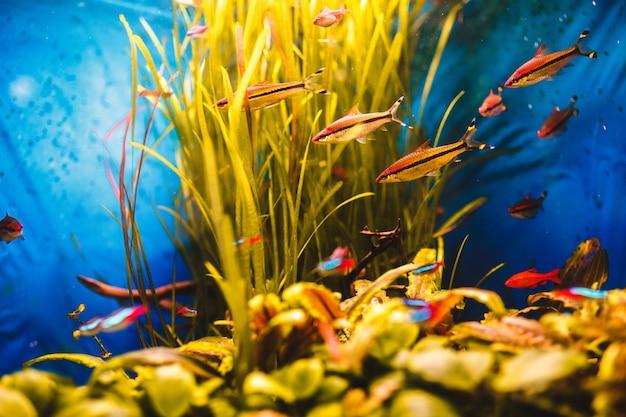 Oranje vissen zwemmen in een blauw aquarium Gratis Foto