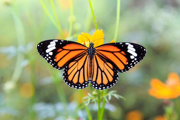 Oranje vlinder op oranje kosmosbloemen Premium Foto