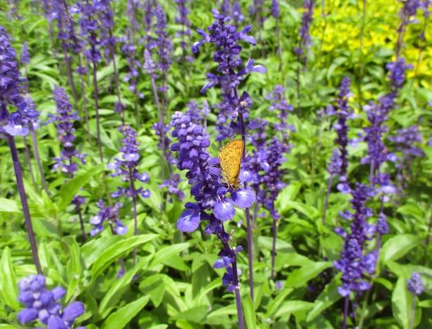 Oranje vlinder op paarse bloem op lavendelgebied Premium Foto