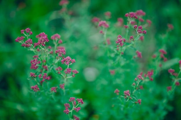 Oregano origanum vulgare paarse violette bloemen op aard Premium Foto