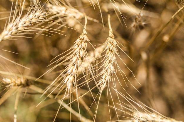 Oren van tarwe close-up op het veld, het concept van landbouw en natuur Gratis Foto