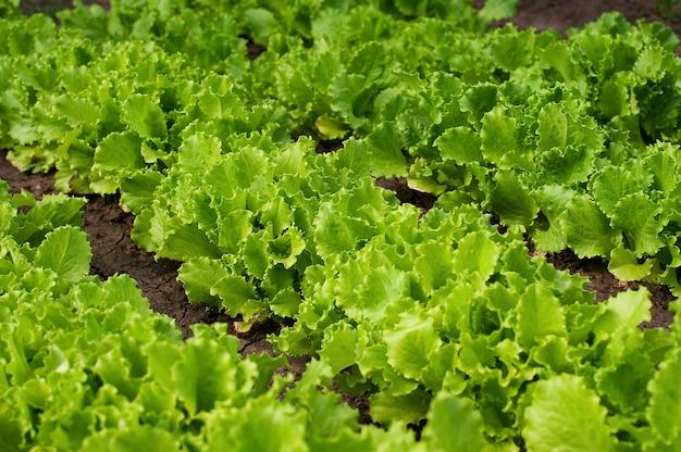 Organische versheidssla die op een tuin groeien Premium Foto