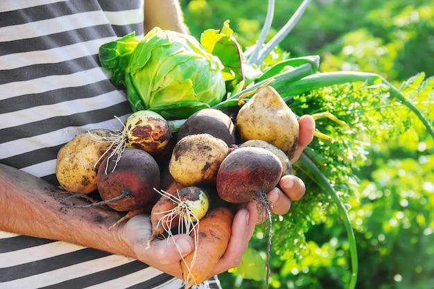 Organische zelfgemaakte groenten in de handen van mannen. Premium Foto