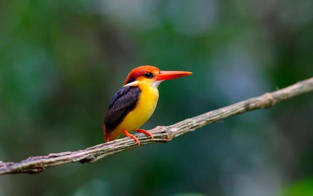 Oriental dwarf kingfisher black backed kingfisher ceyx lacepede beautiful birds of thailand Premium Foto