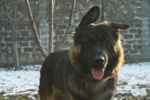 Oude duitse herdershond met zijn tong uit in een besneeuwd gebied met een vage achtergrond Gratis Foto