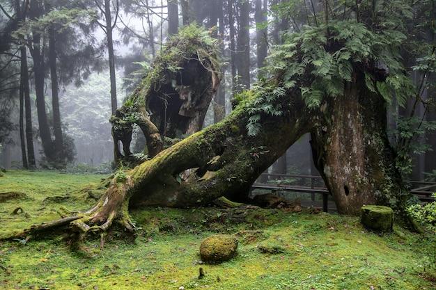 Oude grote boom bij alishan nationaal parkgebied in taiwan. Premium Foto