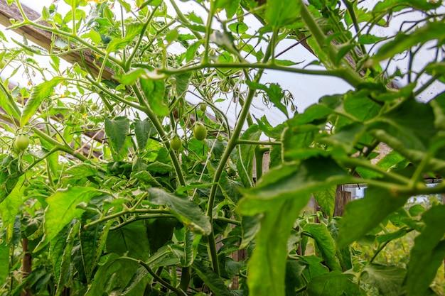 Oude houten kas. huishouden. groenten verbouwen en oogsten. Premium Foto