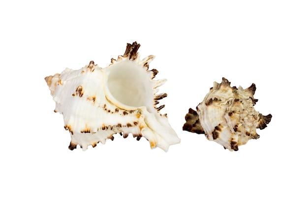 Oude zee shell geïsoleerd op een witte achtergrond Premium Foto