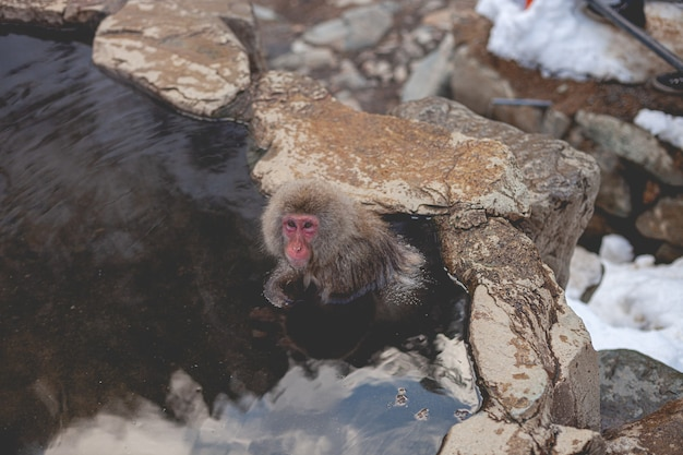 Overhead schot van een makaak aap in het water terwijl u naar de camera kijkt Gratis Foto