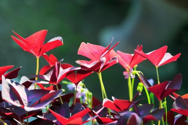 Oxalis triangularis Premium Foto