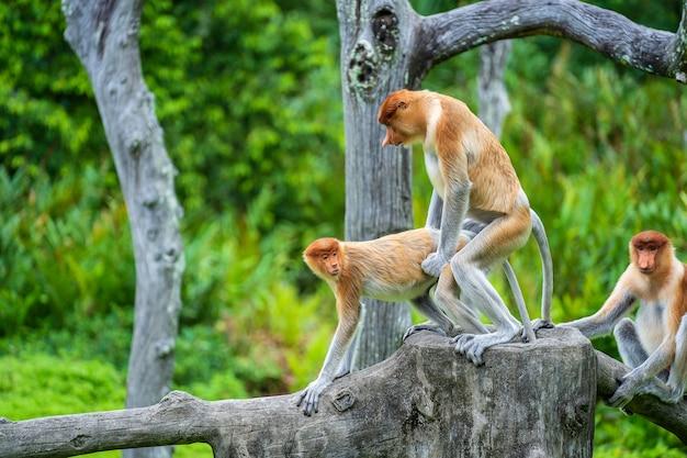 Paar wilde proboscis-apen bedrijft de liefde in het regenwoud van het eiland borneo, maleisië, close-up Premium Foto