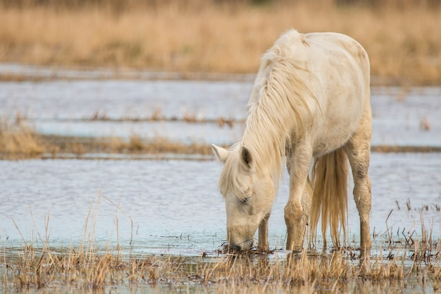 Paard van de camargue in het natuurpark van de moerassen van ampurdãƒâ¡n, girona, catalonië, spanje Premium Foto