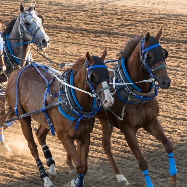 Paarden chuckwagon racen op de jaarlijkse calgary stampede, calgary, alberta, canada Premium Foto
