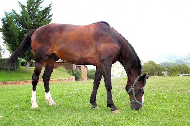 Paardtribune die weidende prairie in de pyreneeën eten Premium Foto