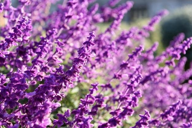 Paars lavendel close-up achtergrond Gratis Foto