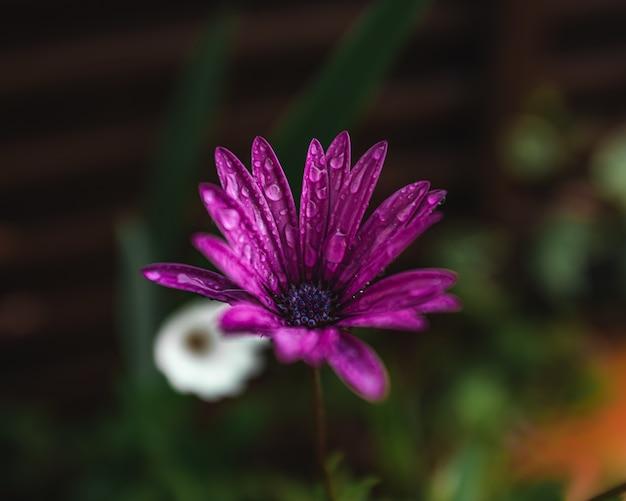 Paarse bloemblaadjes met regendruppels Gratis Foto