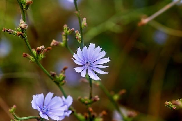 Paarse wilde bloemen close-up op wazig groen gras Premium Foto
