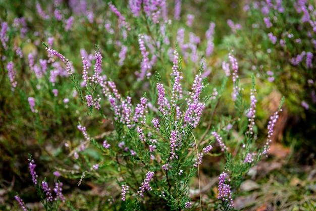 Paarse zomerbloemen groeien in het bosmos. Premium Foto
