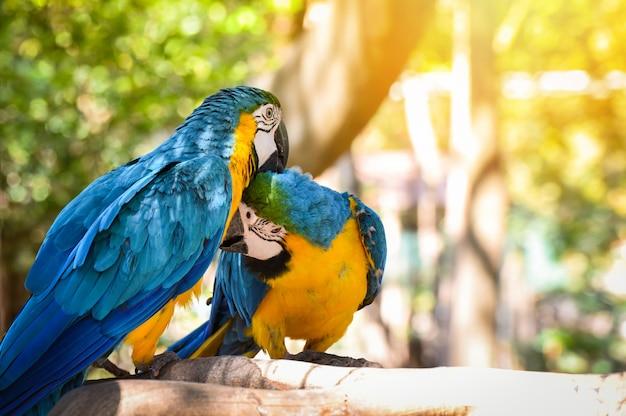 Paarvogels op takboom in de aard / gele en blauwe ara van de vogelsparega van de aravogel ararauna Premium Foto
