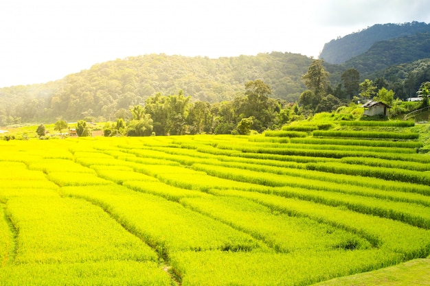 Padieveld in chiang mai, thailand. Premium Foto