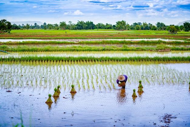 Padieveld zaaiende seizoen op platteland in thailand Premium Foto