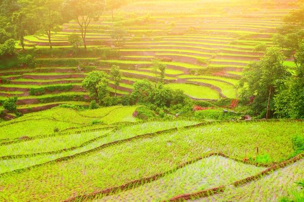 Padievelden in nepal Premium Foto