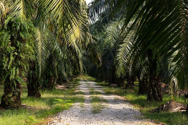 Palmbomen op een palmolieplantage in zuidoost-azië Gratis Foto