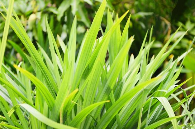 Pandan blad plant Premium Foto